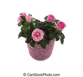 Roses - Small roses in a beautiful pot