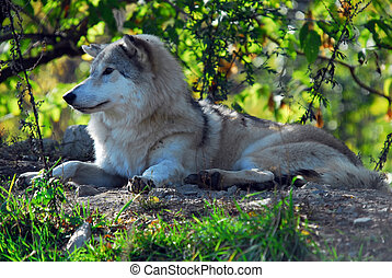 Gray wolf (Canis lupus) - Portrait of a Gray Wolf in it\\\'s...