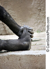 ape holding his foot - this is an image of an ape holding...