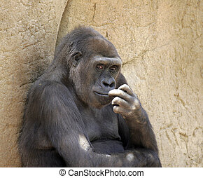 thinking monkey - this is an image of a monkey in the wild,...