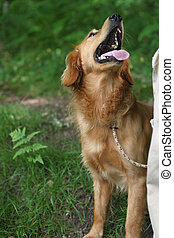 Dog Obedience - A Golden Retriever waiting for his...