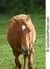 Red Horse Equus caballus with Ears Back - Red horse Equus...