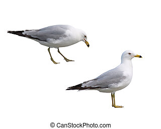 Two Gulls Isolated on White - Two seagulls isolated on...