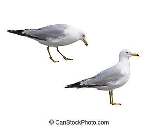 dos, Gaviotas, aislado, blanco