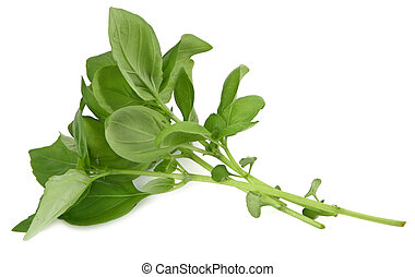 basil profile - green basil leaves profile on white...