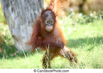 Young orang utan - Cute young orang utan looking for trouble