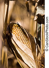 Corn Cob on Stalk - Close up shot of a corn cob drying on...