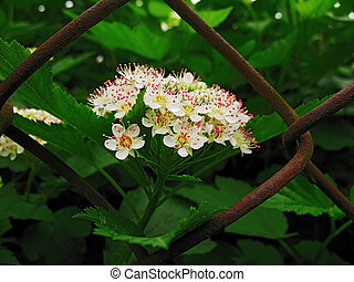 white flowers on background of the iron wire lattice