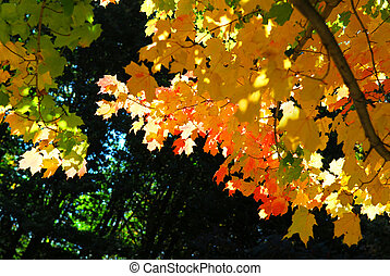 Fall maple leaves - Glowing colorful maple tree leaves in a...