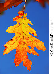 Fall oak leaf - Colorful fall oak leaf on a tree branch with...