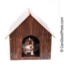 chihuahua at home - chihuahua and her house on the white...