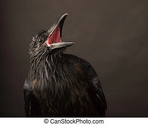 black raven - portrait of black raven on gray background