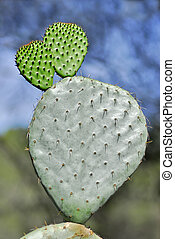 Cactus opuntia - Closeup a cactus opuntia ficus indica with...