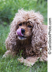 Cocker Spaniel - Lovely dog-cocker spaniel on grass