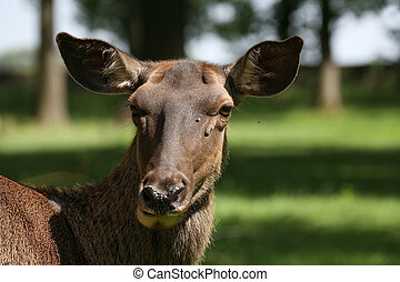 Caspian Red Deer - Cervus elaphus maral in a german zoo