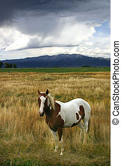 Paint Horse Equus caballus Standing in Field - Paint horse...