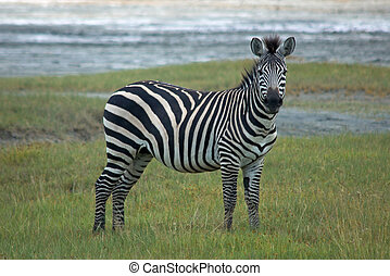 Single african zebra. National Park Lake Manyara, Kenya