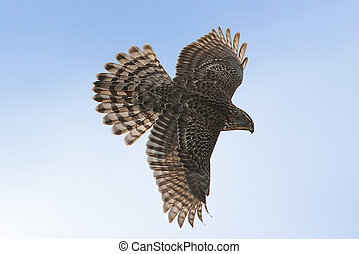 Northern Goshawk - Immature Northern Goshawk in migration...