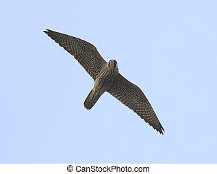 Peregrine Falcon - Immature Peregrine Falcon in migration