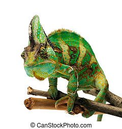 chameleon - green chameleon on a branch isolated over white...