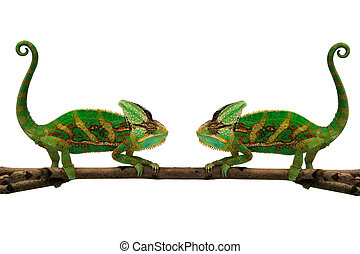twins - two chameleons on a branch isolated over white...