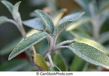 healthy sage close up - beautiful healthy sage close up...