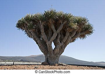 Dracaena draco ( Drago or Dragon Tree ) in Lanzarote, Canary...
