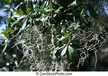 Live Oak Tree - closeup of Spanish moss on a Louisiana live...