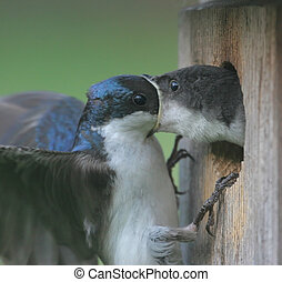 Baby Swallow Being Fed - Male Tree Swallow feeding his...