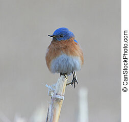 Bluebird on a Corn Stalk - Male Eastern Bluebird perched on...