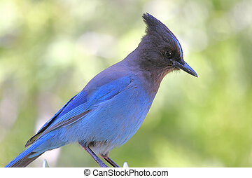 Stellers Jay - Hungry Stellers Jay in a park looking for a...