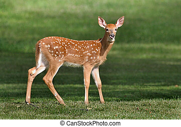 Baby Deer Fawn - Hungry baby White-tailed Deer looking for...