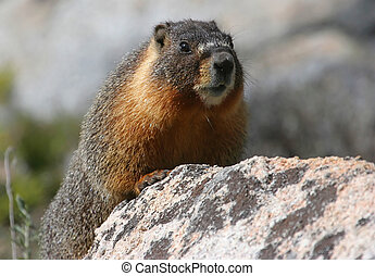 Yellow Bellied Marmot - Yellow-bellied Marmot sunning on a...
