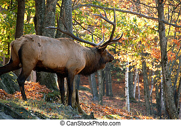 Elk Cervus canadensis in autumn - A big elk Cervus...