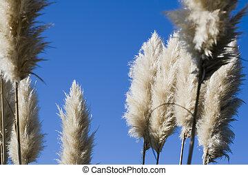 Pampa feathers