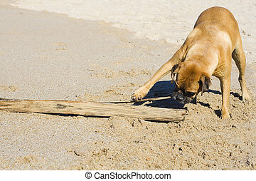 Boxer dog at the beach. - Boxer dog playing at the beach...