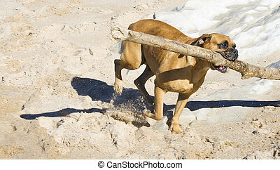 Boxer dog at the beach - Boxer dog playing at the beach with...