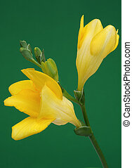 Yellow freesia on green background