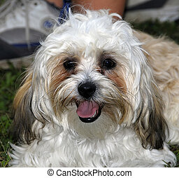 Hairy Dog - A cute hairy dog resting lazily in a park