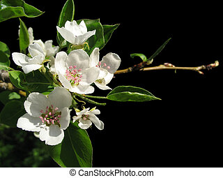 flowers of apple - white flowers of apple tree on black...