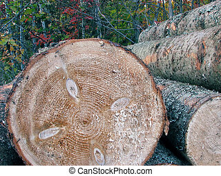 Pile of pine tree logs in the forest - Stacked wood beams in...