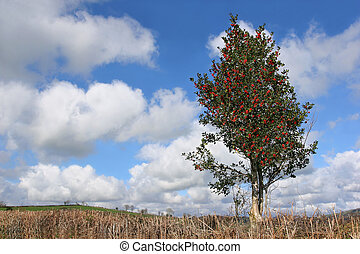 Holly Tree in Winter - Holly tree with red berries in winter...