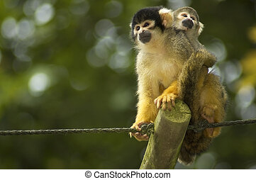 Mom And Baby Squirrel Monkeys - A mom and baby squirrel...