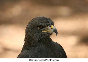 Eurasian Eagle - Photo taken at the World Bird Sanctuary...