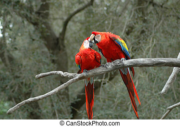 Kissing Parrots - animal, avian, beak, beautiful, bird,...