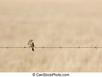 Little Bird - Little bird standing on a barbed wire fence