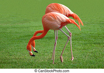Flamingos - A couple of flamingos in an awkward position