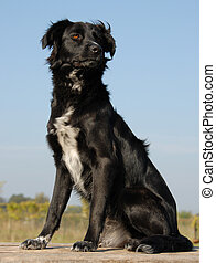 purebred border collie - beautiful portrait of a purebred...