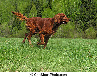 Running setter - The young irish setter running