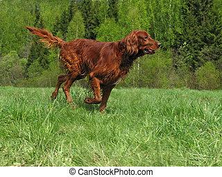 Running setter - The young irish setter running